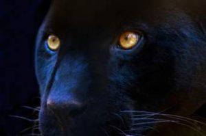 Black Panther Totem For Shaman Training